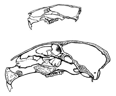 Guinea pig and mara skulls - DuBrul 1960 plate 6