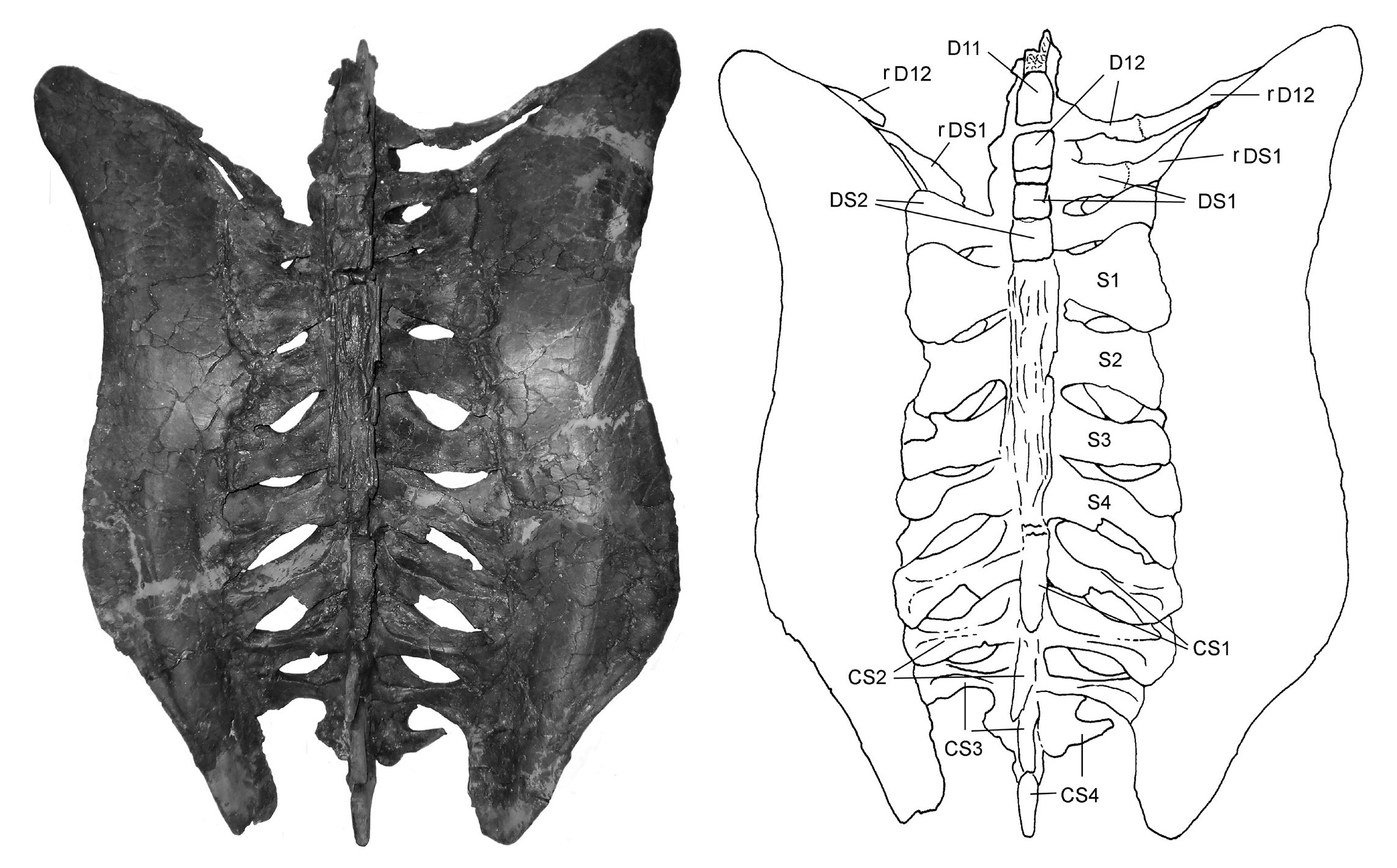 Holmes (2104:fig 12A). Synsacrum and pelvis of Chasmosaurus belli (ROM 843) in dorsal view.