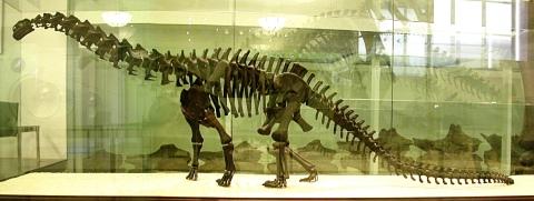 AMNH 460 skeleton model