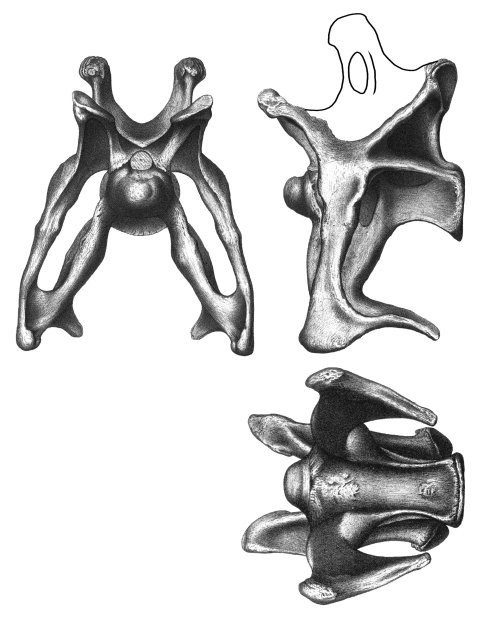 Brontosaurus excelsus holotype YPM 1980, cervical vertebra 8, in anterior, left lateral and ventral views. Adapted from Marsh's plates in Ostrom & McIntosh (1966).