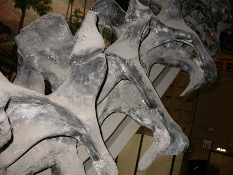 Part of the neck of the mounted skeleton of Brontosaurus excelsus holotype YPM 1980, in right posterodorsolateral view (i.e. from behind, above, and to the right). The vertebra in the centre of the picture may well be the one illustrated above, but don't hold me to it.