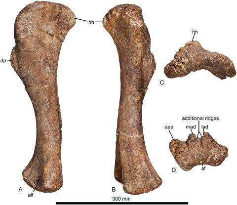 Fig 3. Left humerus of Haestasaurus becklesii (NHMUK R1870). A, lateral view; B, medial view; C, proximal end view (posterior surface towards top); D, distal end view (anterior surface towards top). Abbreviations: aep, anterior entepicondylar process; af, anconeal fossa; alf, anterolateral fossa; dp, deltopectoral crest; hh, humeral head; lad, lateral anterodistal process; mad, medial anterodistal process. All parts are at the same scale.