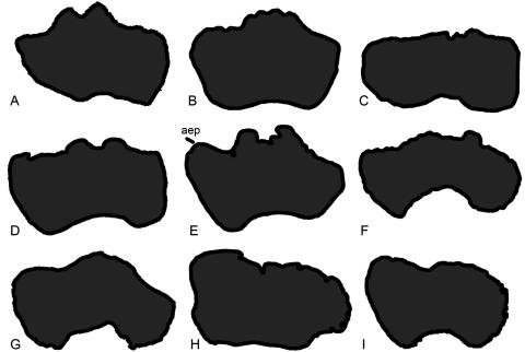Fig 4. Exemplar profiles of the distal ends of sauropod left humeri (anterior surfaces towards top). A, Mamenchisaurus youngi (ZDM 0083 [107]); B, Ferganasaurus (PIN 3042/1 [101]): C, Apatosaurus excelsus (YPM 1980 [100]); D, Camarasaurus grandis (YPM 1901 [100]); E, Haestasaurus (NHMUK R1870); F, Giraffatitan (MfN MB.R 2181 [87]: a right humerus that has been reversed to facilitate comparison); G, Epachthosaurus (UNPSJB-PV 920, based on a photograph by PDM); H, Diamantinasaurus (AAOD 603 [80]); I, Neuquensaurus (MLP-CS 1050 [90]). Abbreviation: aep, anterior entepicondylar process. Profiles not drawn to the same scale.