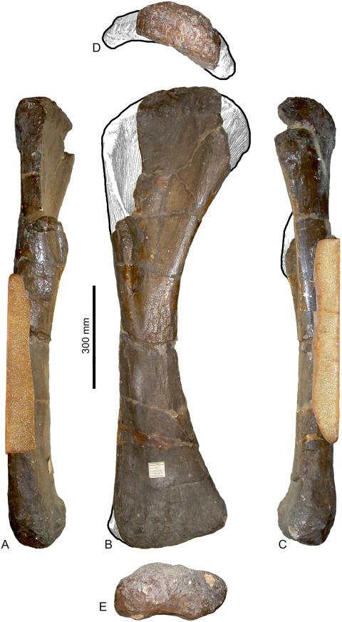 Fig 18. Right humerus of Pelorosaurus conybeari (NHMUK 28626). A, lateral; B, anterior; C, medial; D, proximal; E, distal views. Missing portions have been reconstructed using the humerus of Giraffatitan as a guide.