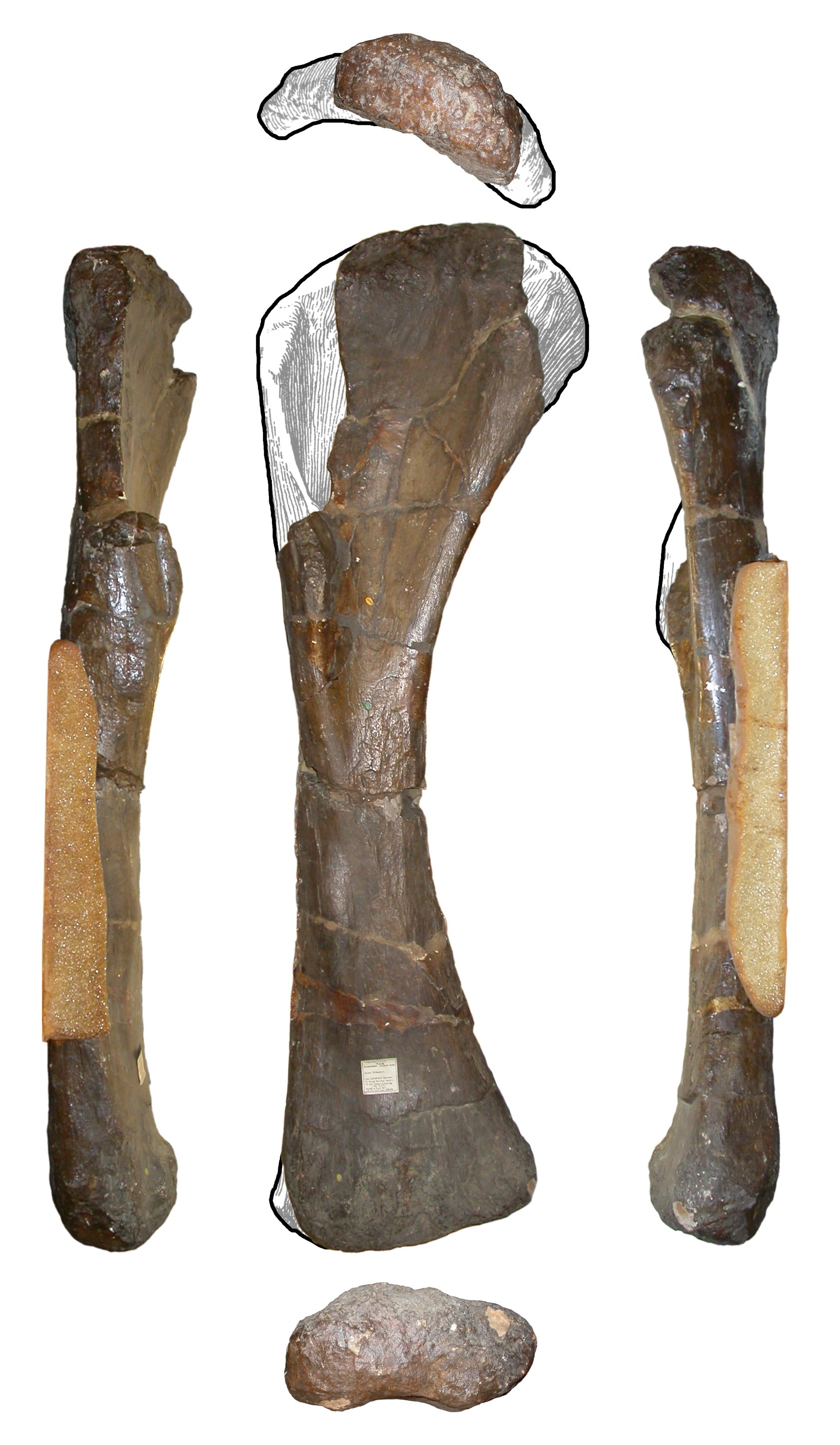 Right humerus of Pelorosaurus conybeari holotype NHMUK 28626. Top row: distal view, anterior to bottom. Middle row, left to right: lateral, anterior and medial views. Bottom row: distal, anterior to top. Missed parts reconstructed from the humerus of Giraffatitan brancai (Janensch 1961: Beilage A)