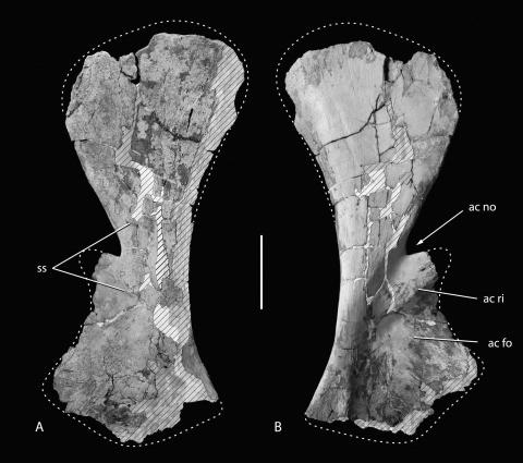 FIGURE 13. Holotype of R. garasbae. Right scapula (MNHN-MRS 1957) in medial (A) and lateral (B) views. Abbreviations: ac fo, acromial fossa; ac no, acromial notch; ac ri, acromial ridge; ss, origin of M. subscapularis. Inference of muscle attachment sites is based on comparisons with crocodile pectoral musculature (Meers, 2003). Reconstruction of distal margin of blade based on photograph of scapula in situ (Fig. 2A). Scale bar equals 20 cm.