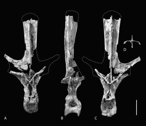 Wilson and Allain (2015:figure 3). Holotype of R. garasbae. Dorsal vertebra (MNHN-MRS 1958) in anterior (A), right lateral (B), posterior (C), and dorsal cross-sectional (D) views. Anterior faces top in D. Scale bar equals 20 cm.