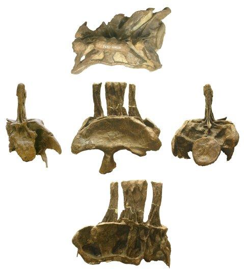 diplodocus-sacrum-composite