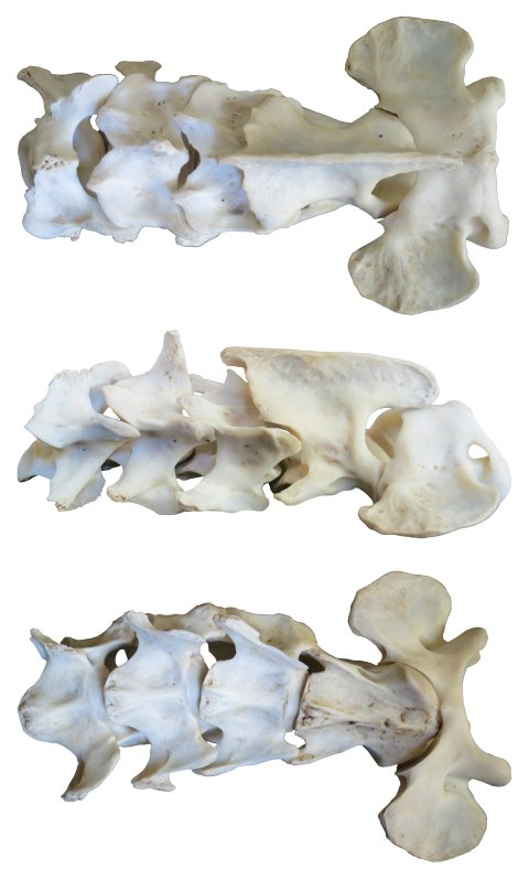 cat-first-five-cervicals-white