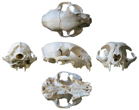 cat-skull-composite-WHITE