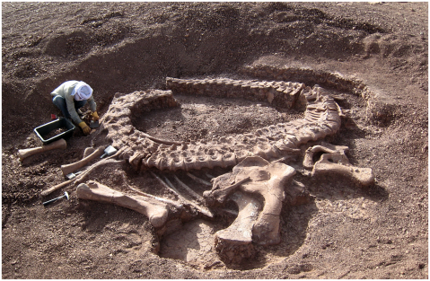 Taylor 2015: Figure 1. Spinophorosaurus nigerensis holotype GCP-CV-4229 in situ during excavation in the region of Aderbissinat, Thirozerine Dept., Agadez Region, Republic of Niger. Reproduced from Remes et al. (2009: figure 1).