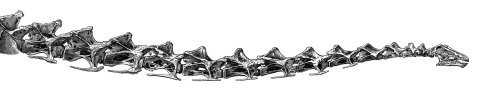 Taylor 2015: Figure 2. Neck of Diplodocus carnegii holotype CM 84, as reconstructed by Hatcher (1901: plate XIII), with fifteen undamaged cervical vertebrae.