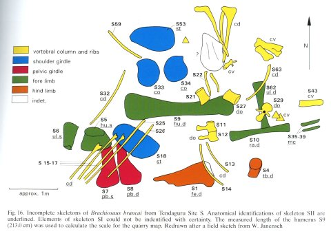 Taylor 2015: Figure 5. Quarry map of Tendaguru Site S, Tanzania, showing incomplete and jumbled skeletons of Giraffatitan brancai specimens MB.R.2180 (the lectotype, formerly HMN SI) and MB.R.2181 (the paralectotype, formerly HMN SII). Anatomical identifications of SII are underlined. Elements of SI could not be identified with certainty. From Heinrich (1999: figure 16), redrawn from an original field sketch by Werner Janensch.