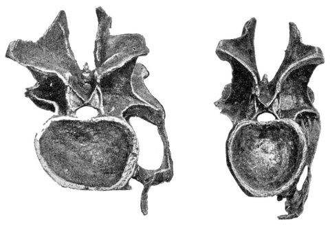 Taylor 2015: Figure 9. Cervical vertebrae 14 (left) and 13 (right) of Diplodocus carnegii holotype CM 84, in posterior view. Note the dramatically different aspect ratios of their cotyles, indicating that extensive and unpredictable crushing has taken place.