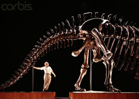 Pittsburgh, Pennsylvania, USA --- Leading sauropod expert Jack McIntosh beneath Apatosaurus Louisae at the Carnegie Museum of Natural History, a forty-ton vegetarian named after Andrew Carnegie's wife, which is over seventy-seven feet (over 23 meters) long and is the longest mounted dinosaur in the world. --- Image by © Louie Psihoyos/Corbis