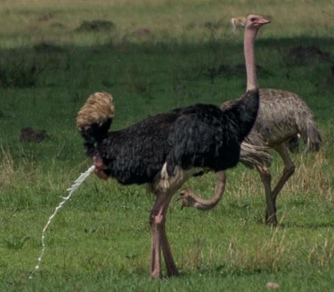 ostrich excreting 3