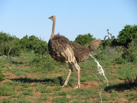 ostrich excreting