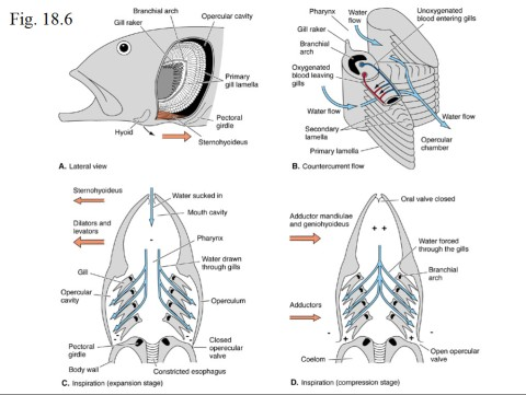 Countercurrent gas exchange in fish gills - a very cool system.
