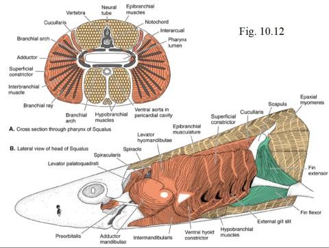 Liem et al 2001 PPTs - shark jaw and forelimb musculature