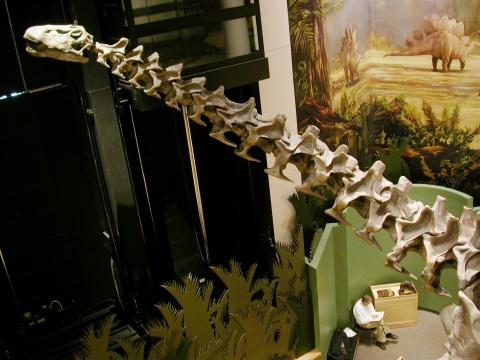 Oklahoma Apatosaurus neck and head