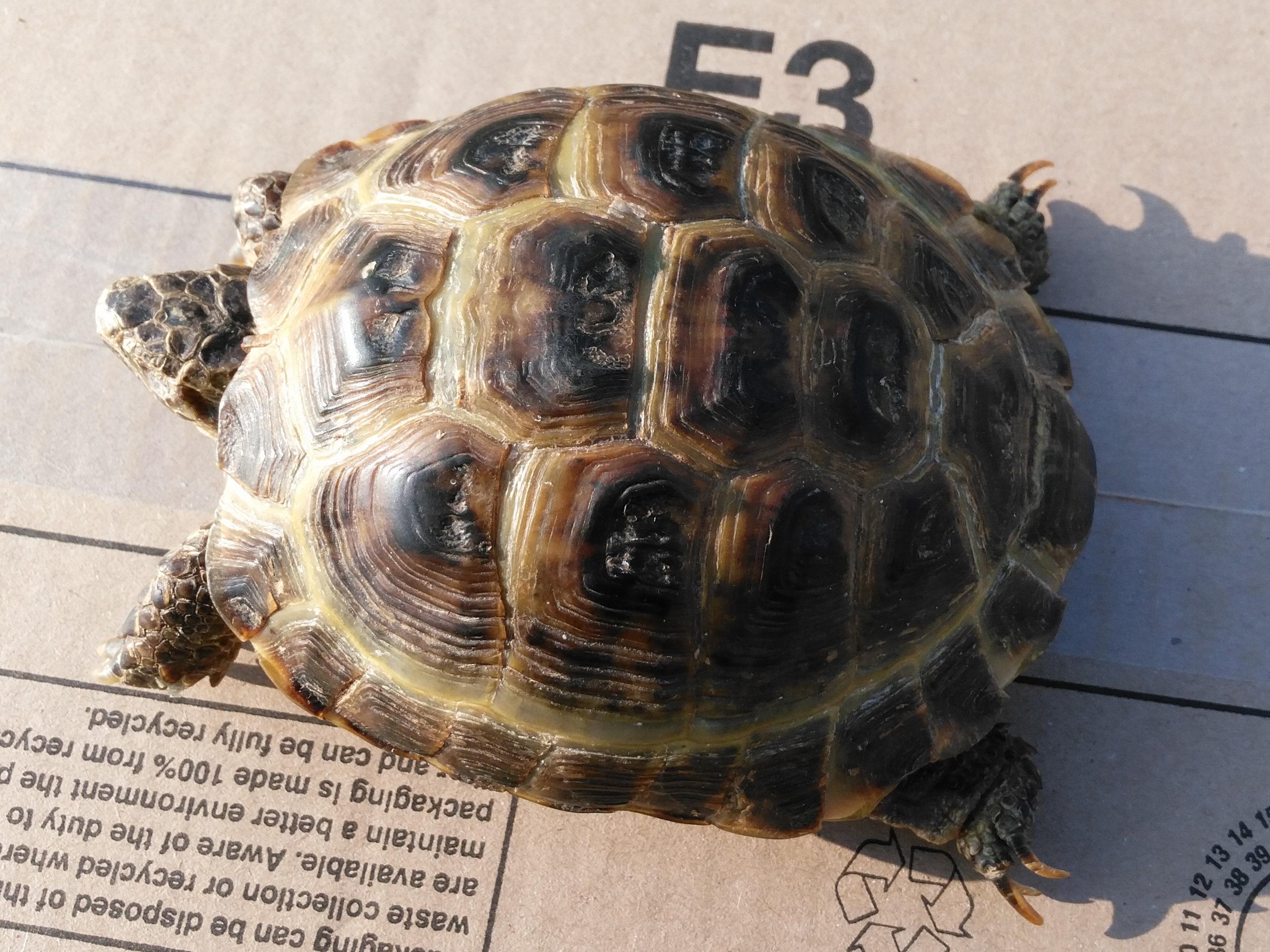 Help me! How can I deflesh a tortoise? | Sauropod Vertebra Picture ...