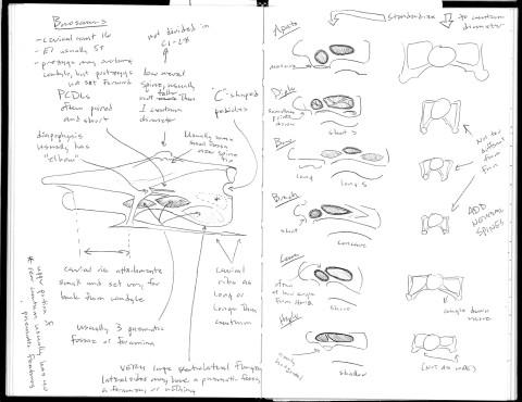 Wedel 2005 Morrison sauropod cervicals 2 - Barosaurus and centra shapes