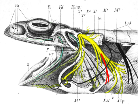 Frog RLN lateral view - Ecker 1889 plate 1 fig 114 - RLN highlighted