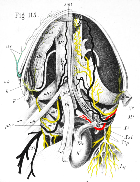 Frog RLN ventral view - Ecker 1889 plate 1 fig 115 - RLN highlighted