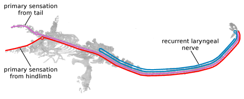 Hydrotherosaurus nerve pathways 4 - RLN pathway