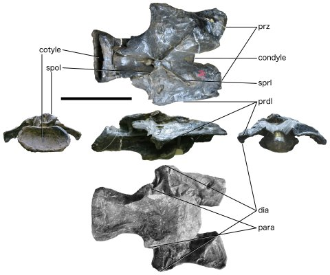 Taylor and Wedel 2016: Figure 3. Barosaurus lentus holotype YPM 429, vertebra R, C?15. Top row: dorsal view; middle row, left to right: posterior, right lateral and anterior views; bottom row: ventral view, from Lull (1919: plate II). Note the apparently very low, undivided neural spine at the intersection of the PRSLs and POSLs, forward-shifted neural arch, broad prezygapophyses, broad, wing-like prezygadiapophyseal laminae, and great width across the diapophyses and across the parapophyses. Abbreviations: dia, diapophysis; para, parapophysis; prz, prezygapophysis; prdl, prezygadiapophyseal lamina; spol, spinopostzygapophyseal lamina; sprl, spinoprezygapophyseal lamina. Scale bar = 500 mm.