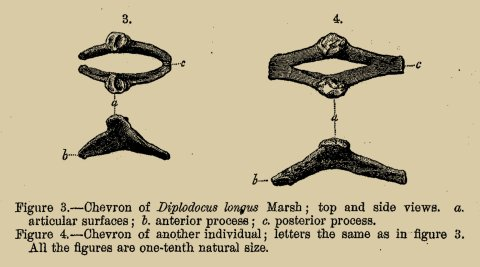 Marsh (1878: plate VIII in part). The only illustration of Diplodocus material in the paper that named the genus.