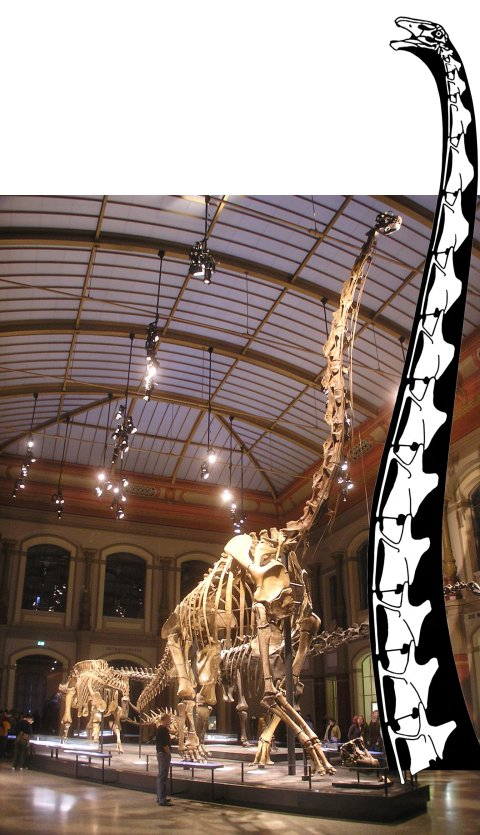 Giraffatitan brancai mounted skeleton MB.R.2181 at the Museum für Naturkunde Berlin, with neck of Barosaurus ?lentus BYU 9024 at the same scale. Photo by Axel Mauruszat, from Wikipedia; drawing from Scott Hartman's Supersaurus skeleton reconstruction.