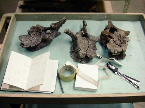 snowmass-haplocanthosaurus-caudals