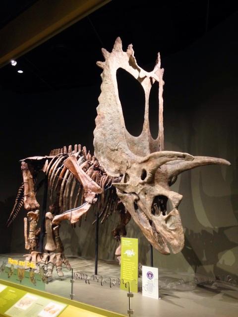 pentaceratops-omnh-dec-2016-4