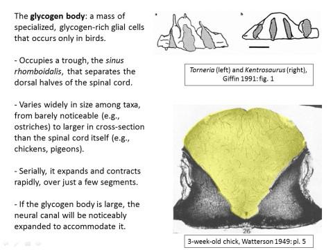 avian lumbosacral specializations - glycogen body