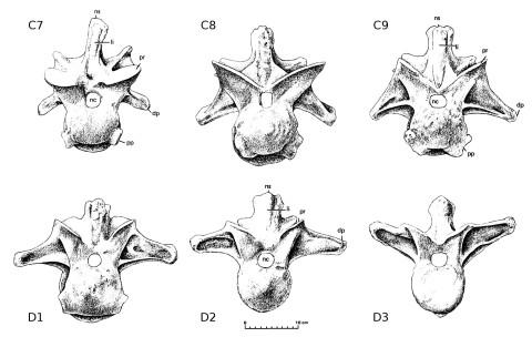 Allosaurus fragilis cervicodorsal transition - Madsen 1976 plates 14-16