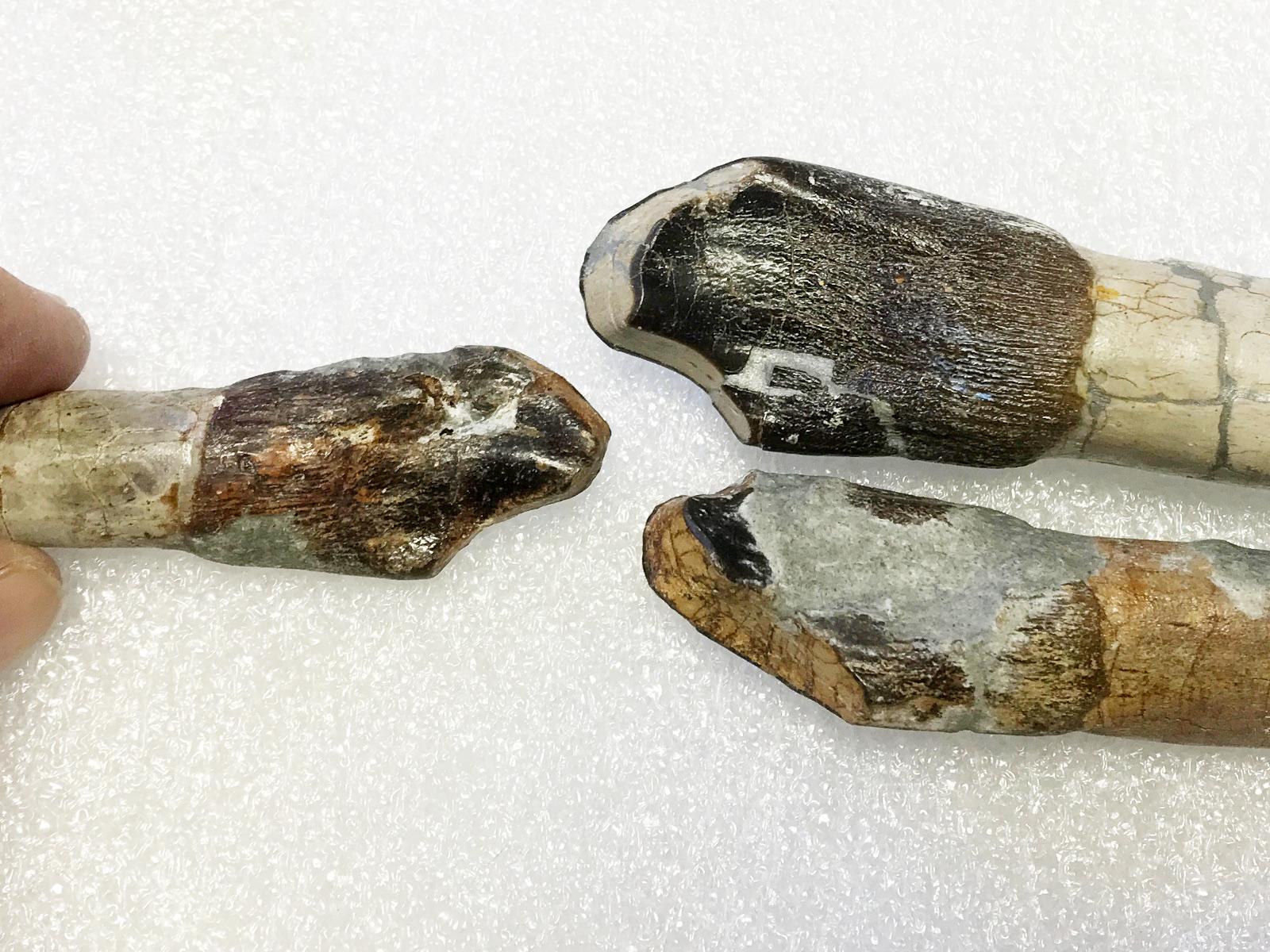 DINO collections - more worn Camarasaurus teeth